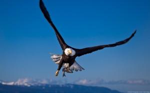 Bald Eagle (Haliaeetus leucocephalus) in flight with a fish